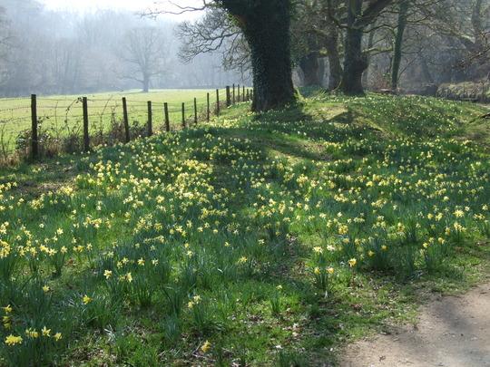 Lent Lillys (Narcissus pseudonarcissus (Daffodil))