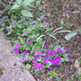 Polyanthus and Lungwort