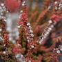 Calluna vulgaris 'Prostrate orange' heather (Calluna vulgaris)