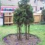 Conifer In Front Garden In Feb08!...