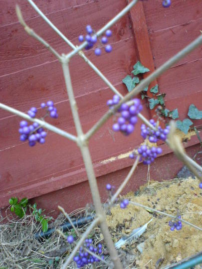 purple berries (Callicarpa bodinieri (Bodinier beautyberry))