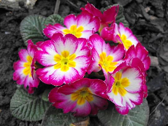 Pink/White Primrose