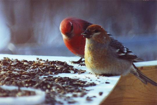 Male and Female Pine Grosbeaks