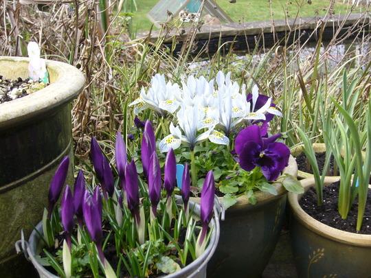 A garden flower photo (Crocus)
