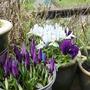 march_008.jpg (Iris reticulata 'Harmony')