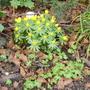 winter aconite (Eranthis hyemalis (Winter aconite))