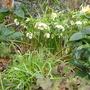 A garden flower photo (Helleborous)