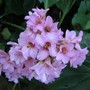 Close up of Bergenia (Bergenia cordifolia)