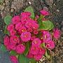 Primrose (Primrose (Primlet rose))