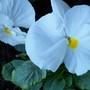 White Pansie....