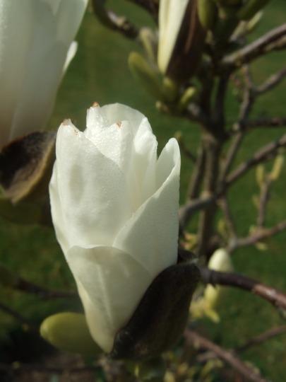 Magnolia x soulangeana (Magnolia x soulangeana (Saucer magnolia))