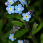 Closer view of Forget-me-nots