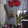 Amaryllis in bloom  (Amaryllis 'Red lion')