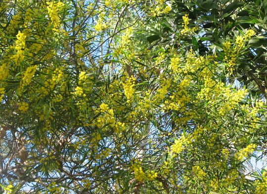 Autumn in Australia - Acacias in flower (Acacia)
