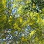 Autumn in Australia - Acacias in flower (Acacia)