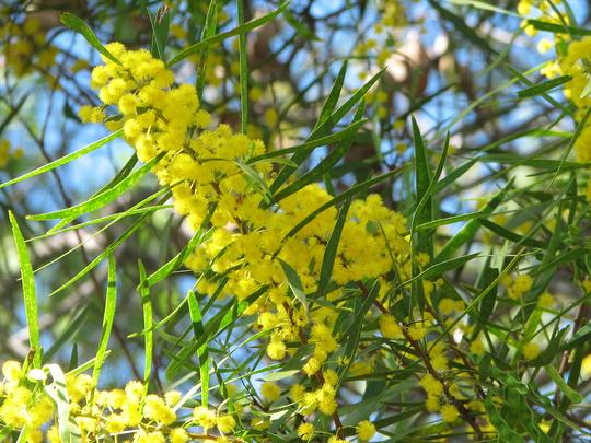 Acacia close-up (Acacia)