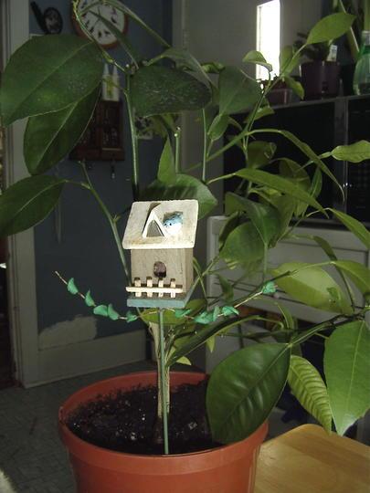 Lemon tree (Citrus × limon)