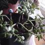 2008_02_29_healthy_jade_plant