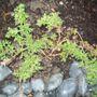 Violet March 2009 (verbena sunvop hybrid)