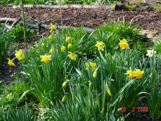 daffodils 2 (Narcissus)