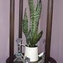 2008_02_29_nice_snake_plant