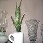 2008_02_29_nicer_white_mug_snake_plant
