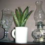 2008_02_29_white_cup_snake_plant