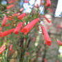 Close up Firecracker plant (Russelia equisetiformis)