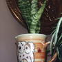Snake Plant (Sanseveria)