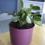Christmas Cactus (schlumbergera truncata) (Schlumbergera truncata)