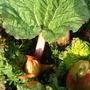 Rhubarb_5