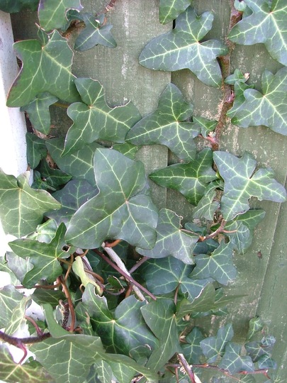 Green Ivy A closer look