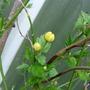 Pleniflora_3