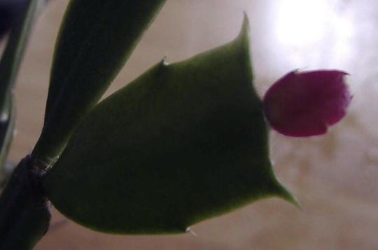 New buds (Schlumbergera truncata)