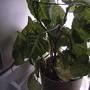 Syngonium 'White Butterfly' (Syngonium 'White Butterfly')