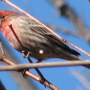 House_finch_mr_2009_03_20_021