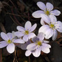 Hepatica_palelav_group_3_18_09_exc_sm
