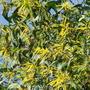 Autumn in Australia - more acacias in flower (Acacia holosericea)