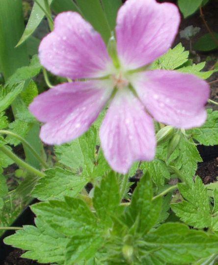 Geranium Edith May