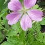 Geranium Edith May