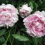 A garden flower photo (Peony)