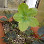 green Xmas rose (Helleborus niger (Christmas rose))