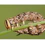 Pine Hawk Moth Catipilla #2