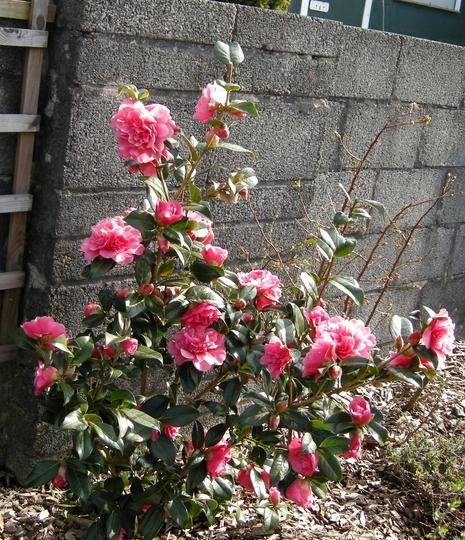 Camellia × williamsii 'Anticipation' (Camellia × williamsii 'Anticipation')