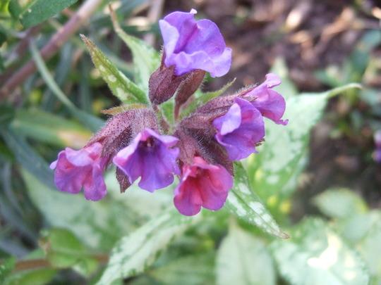 Pulmonaria 'Bertram Anderson' (Pulmonaria longifolia)
