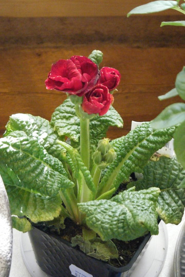 Little Polyanthus (primula)