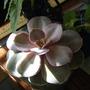 My First Echeveria (echeveria)
