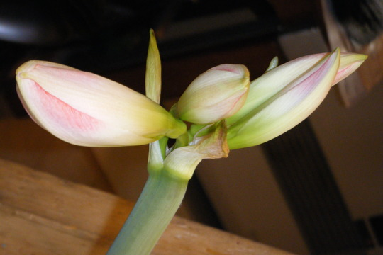 Blossom peacock, second buds about to pop (Hippeastrum papilio (Butterfly amaryllis))