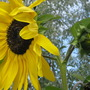 One of Many ...Sunflowers.