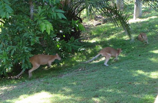 Garden visitors - wallabies playing chasey in the garden.
